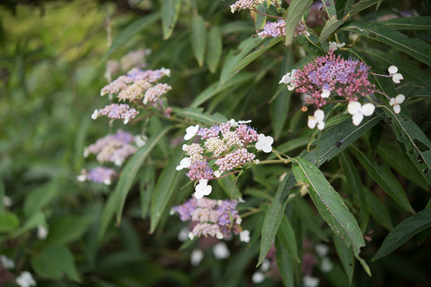 Photos: 32神代植物公園【ヒドランゲア・ビローサ】