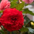 36神代植物公園【温室の花:ベゴニア】