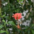 37神代植物公園【温室の花:フウリン・ブッソウゲ】