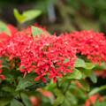 38神代植物公園【温室の花:サンタンカ(赤)】