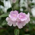 Photos: 39神代植物公園【温室の花:ニンニクカズラ】