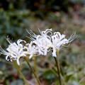 09花菜ガーデン【リコリス(白系)】1銀塩NLP