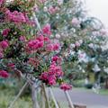 11花菜ガーデン【サルスベリ(赤系)】1銀塩NLP