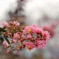 15花菜ガーデン【サルスベリ(赤系)】5銀塩NLP