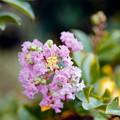 17花菜ガーデン【サルスベリ(赤系)】7銀塩NLP