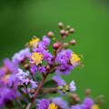 19花菜ガーデン【サルスベリ(紫系)】2