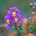 20花菜ガーデン【サルスベリ(紫系)】3