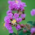 21花菜ガーデン【サルスベリ(紫系)】4