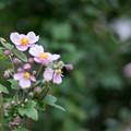 23花菜ガーデン【シュウメイギク】2