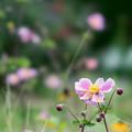 24花菜ガーデン【シュウメイギク】3