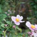 25花菜ガーデン【シュウメイギク】4