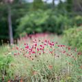 27花菜ガーデン【センニチコウ】1