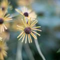 Photos: 33花菜ガーデン【ルドベキア:ヘンリーアイラーズ】2
