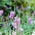 34花菜ガーデン【ハナトラノオ】1銀塩