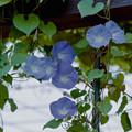 Photos: 36花菜ガーデン【西洋アサガオ】1銀塩NLP