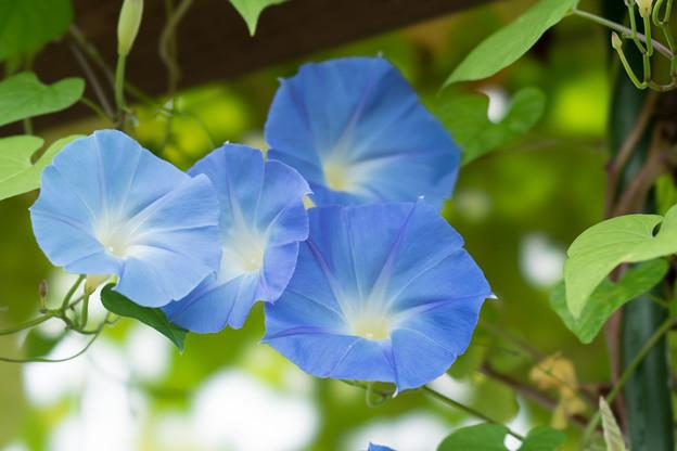 37花菜ガーデン【西洋アサガオ】2
