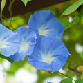 Photos: 37花菜ガーデン【西洋アサガオ】2