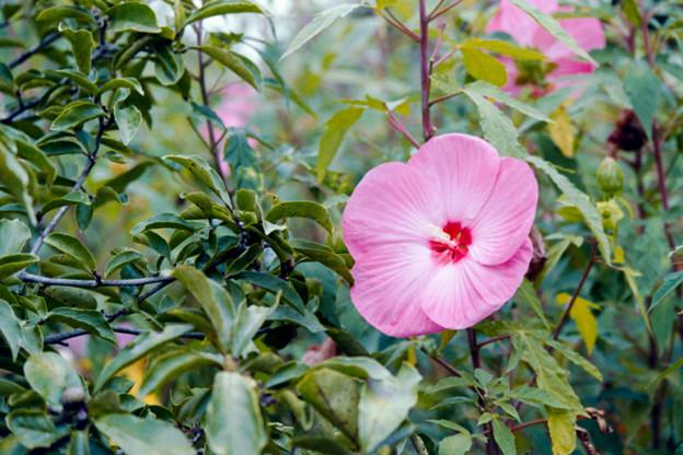 Photos: 39花菜ガーデン【タイタンビカス】1銀塩NLP