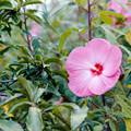 39花菜ガーデン【タイタンビカス】1銀塩NLP