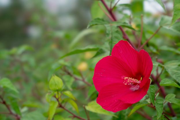 40花菜ガーデン【タイタンビカス】2