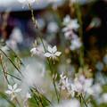 Photos: 41花菜ガーデン【ガウラ】1銀塩NLP