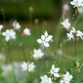 42花菜ガーデン【ガウラ】2