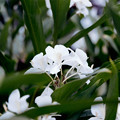 Photos: 43花菜ガーデン【ジンジャー・リリー】1銀塩NLP