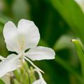 Photos: 44花菜ガーデン【ジンジャー・リリー】2