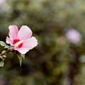 Photos: 45花菜ガーデン【ムクゲ】1銀塩NLP