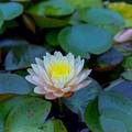 Photos: 47花菜ガーデン【スイレン】銀塩