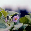 Photos: 49花菜ガーデン【ナスの花】銀塩NLP