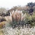 Photos: 50花菜ガーデン【パンパスグラス】銀塩NLP