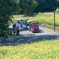 09昭和記念公園【花の丘:キバナコスモス(レモンブライト)全景】7