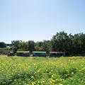 10昭和記念公園【花の丘:キバナコスモス(レモンブライト)全景】8