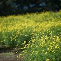 11昭和記念公園【花の丘:キバナコスモス(レモンブライト)遠景】1