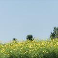 12昭和記念公園【花の丘:キバナコスモス(レモンブライト)遠景】2