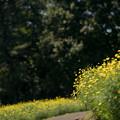 13昭和記念公園【花の丘:キバナコスモス(レモンブライト)遠景】3