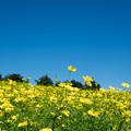 14昭和記念公園【花の丘:キバナコスモス(レモンブライト)遠景】4