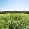 15昭和記念公園【花の丘:キバナコスモス(レモンブライト)遠景】5