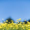 16昭和記念公園【花の丘:キバナコスモス(レモンブライト)近景】1