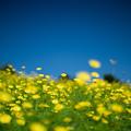 17昭和記念公園【花の丘:キバナコスモス(レモンブライト)近景】2