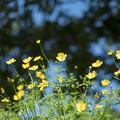 18昭和記念公園【花の丘:キバナコスモス(レモンブライト)近景】3
