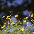 19昭和記念公園【花の丘:キバナコスモス(レモンブライト)近景】4