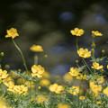 20昭和記念公園【花の丘:キバナコスモス(レモンブライト)近景】5