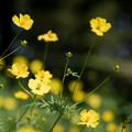 21昭和記念公園【花の丘:キバナコスモス(レモンブライト)近景】6