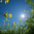 22昭和記念公園【花の丘:キバナコスモス(レモンブライト)アップ】1
