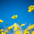 23昭和記念公園【花の丘:キバナコスモス(レモンブライト)アップ】2