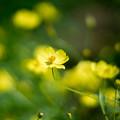 25昭和記念公園【花の丘:キバナコスモス(レモンブライト)アップ】4