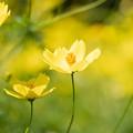 27昭和記念公園【花の丘:キバナコスモス(レモンブライト)アップ】6