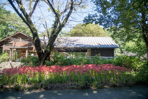 35昭和記念公園【こもれびの家付近:彼岸花】1